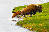"""""""Baby Bison Hop""""  Yellowstone National Park  Nez Perce Creek 