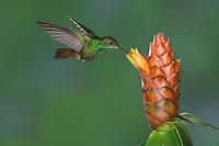 Rufous-tailed Hummingbird, Amazilia tzacatl, adult in flight feeding on Spiral Ginger (Costus Pulverulentus), Central Valley, Costa Rica, Central America, December 2006