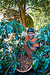 Panama Indian picking coffee on a coffee farm in San Marcos de Terrazu, Costa Rica.