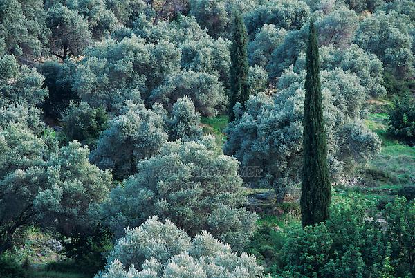 Olive hain and cypress trees, Samos, Greek Islands, Eastern Aegean Islands, Greece, May 1998