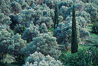 Olive hain and cypress trees, Samos, Greek Islands, Eastern Aegean Islands, Greece, May 1998