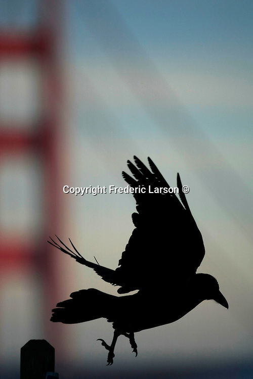 A blackbird lands on a post at Baker's Beach with the Golden Gate Bridge as a background during the morning dawn.
