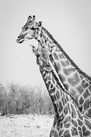 Giraffes at Etosha, Namibia