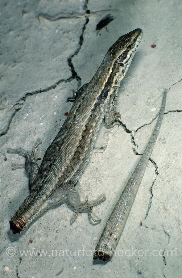 Mauereidechse, Mauer-Eidechse, hat ihren Schwanz abgeworfen als Verteidigungsmaßnahme, Autotomie, Lacerta muralis, Podarcis muralis, common wall lizard