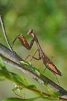 362430007 a wild carolina mantid stagnomantis carolina perches on a woody plant over a stream in marijilda canyon graham county arizona