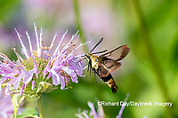 04005-00418 Snowberry Clearwing (Hemaris diffinis) on Wild Bergamot (Monarda fistulosa) Marion Co. IL