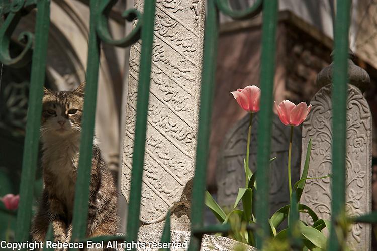 Cat in the cemetery of the Mevlevihane in Beyoglu, Istanbul, Turkey