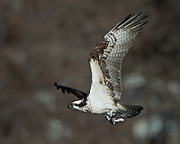 Osprey catches two catfish, one with each foot.