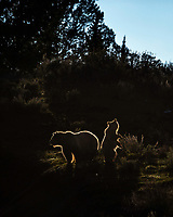 Sow and cub grizzly glowing in the evening sun.