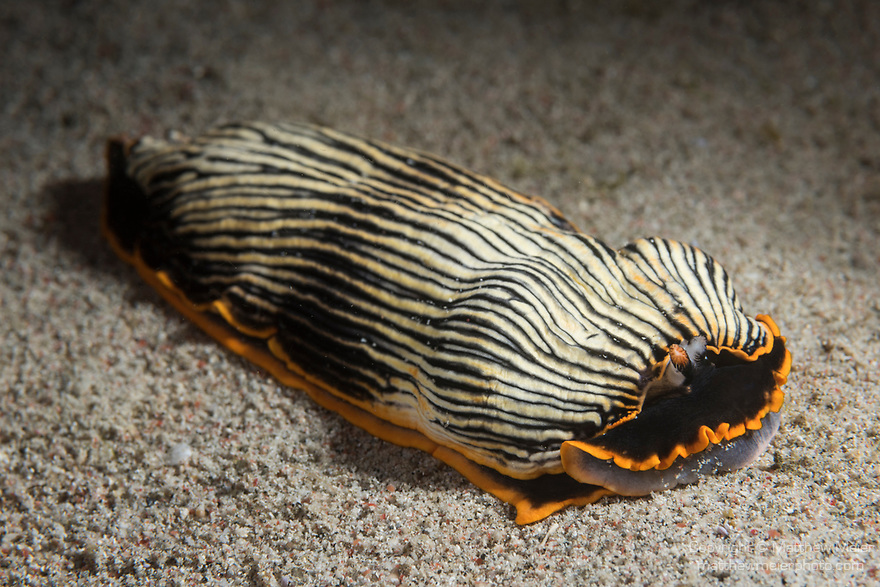 Puerto Galera, Oriental Mindoro, Philippines; an armina sp. nudibranch moving across the sandy bottom at night