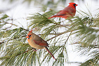 01530-23014 Northern Cardinal (Cardinalis cardinalis) female and male in pine tree in winter snow Marion Co. IL