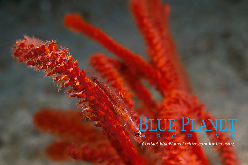 whip coral goby, Bryaninops sp. on red whip coral or gorgonian soft coral, Mabul Island, off Borneo, Sabah, Malaysia (Celebes Sea), Pacific Ocean