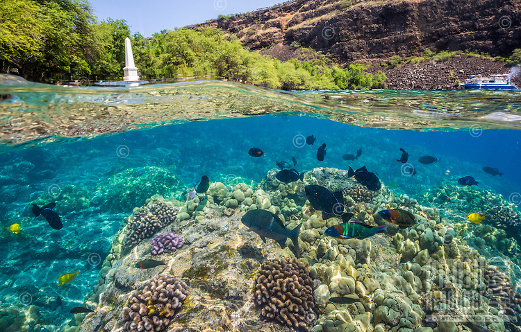 A snorkeler's view of tropical fish swimming in Kealakekua Bay near the Captain Cook Monument, Island of Hawai'i.