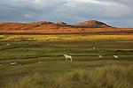 prairie et moutons brae of Achnahaird sur la péninsule de Coigachvv