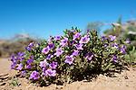 Desert flower, Organ Pipe National Monument