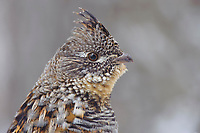 Male Ruffed Grouse (Bonasa umbellus) head portrait. Okanogan County, Washington. April.
