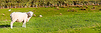 Panoramic Photo of a New Zealand Sheep in a Field in Golden Bay, South Island, New Zealand. This panoramic photo shows a New Zealand sheep, which are renowned for outnumbering the human population almost 10:1!