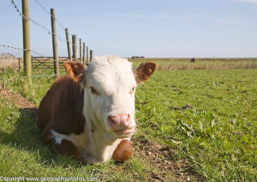 Calf in field chewing cud in a herd of pure Hereford cattle at Boyton marshes, Suffolk, England