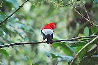 Male Andean cock of the rock, Rupicola peruvianus sanguinolenta, displaying at a lek. Refugio Paz de las Aves, Ecuador
