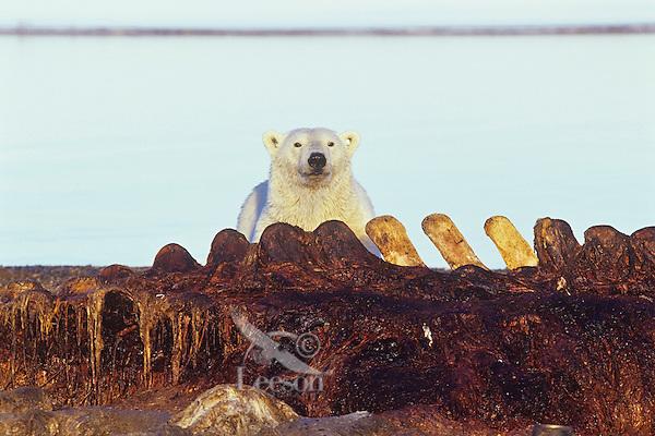 Polar Bear scavenging the remains of a bowhead whale along the Beaufort Sea coast, Alaska.  Sept.
