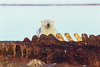 Polar Bear scavenging the remains of a bowhead whale along the Beaufort Sea coast, Alaska.  Sept.