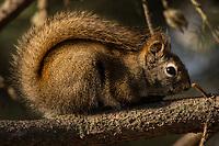 Red Squirrel, Chugiak Alaska.