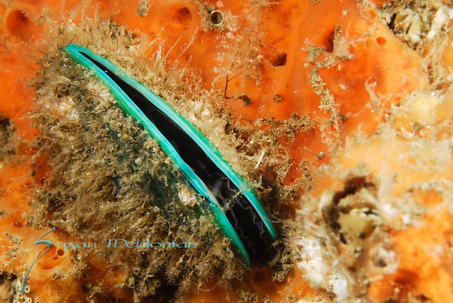 Asian Green Mussel, Perna Viridis COnsidered an invasive species at the Bridge & throughout Florida.