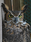 A Great-Horned owl at the TreeHouse Wildlife Center.