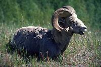 Bighorn Sheep, Banff, Alberta, Canada