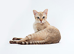 Australian Mist Cat - Chocolate Spotted Colour - 2 years old, Female