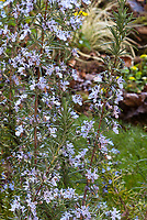 Upright Rosemary herb in flower, Rosmarinus officinalis 'Miss Jesup's Upright'