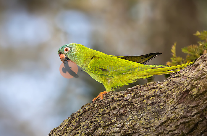 Blue-crowned parakeet perched on tree in Florida