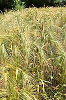 Gerste, Saat-Gerste, Saatgerste, Gerstenanbau, Gerstenfeld, Feld, Acker, Getreidefeld, Getreideacker, Feldanbau, Hordeum vulgare, Barley, cereal grain