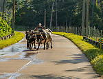 A farmer and his oxen, traveling to his field, on the mountain road, Topes de Collantes, Cuba - between the cities of Trinidad and Cienfuegos