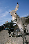 A curious baby burro watches as its mother rests by the jail in Oatman, Ariz.