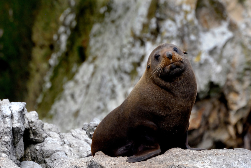 You are sleepy, very sleepy - New Zealand Fur Seal, Snares Islands
