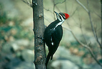 Female Pileated Woodpecker, Dryocopus pileatus, perched on tree