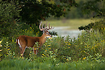 White-tailed buck in velvet