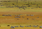 Grant's zebra herd in high dry grass, Masai Mara, Kenya