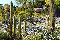 Espagne, Catalogne, Costa Brava, Blanes, jardin Pinya de Rosa, c'est un jardin de plantes succulentes, ici des cactus cierges, des yuccas et un tapis d'Osteospermum ou marguerite africaine  // Spain, Catalonia, Costa Brava, Blanes, Pinya de Rosa Tropical Botanical Garden