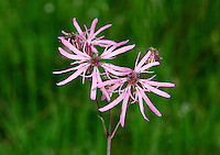 RAGGED-ROBIN Lychnis flos-cuculi (Caryophyllaceae) Height to 65cm. Delicate-looking perennial of damp meadows, fens and marshes. FLOWERS comprise 5 pink petals; each is divided into 4 'ragged' lobes (May-Aug). FRUITS are capsules. LEAVES are narrow, grass-like and rough, the upper ones in opposite pairs. STATUS-Widespread and common, but decreasing due to agricultural changes (eg land drainage).