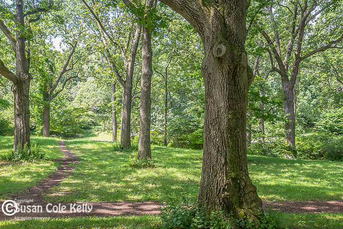 Oak trees at the Arnold Arboretum in the Jamaica Plain neighborhood, Boston, Massachusetts, USA