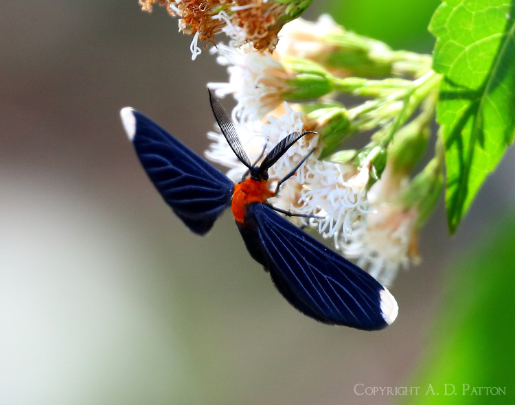 White-tipped black moth