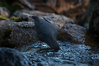 An American Dipper (Cinclus mexicanus) in an alpine stream in the Talkeetna Mountains of Alaska. Photo by James R. Evans