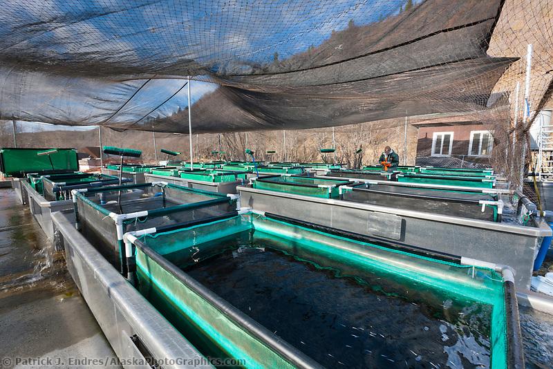 Raceway tanks for Sockeye salmon fry at the Gulkana Hatchery