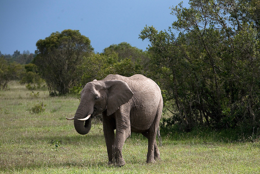 17 january 2010 - Ol Pejeta Conservancy, Laikipia, Kenya - Elephants at the Ol Pejeta conservancy. On December 20, 2009, four of the world's last eight known surviving northern white rhinos were relocated from captivity back to the wild in a last bid to save them from extinction. The four rhinos, two males and two females, named Sudan, Suni, Fatu and Najin - were transferred by air from Dvur Králové Zoo in the Czech Republic to the Ol Pejeta Conservancy in Laikipia, Kenya. It is thought that the climatic, dietary and security conditions that the rhinos will enjoy at Ol Pejeta will provide them with higher chances of starting a population in what is seen as the very last lifeline for the species. Photo credit: Benedicte Desrus