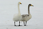 Whooper swan, Cygnus cygnus, adult with young, standing on frozeen lake Kussharo-ko, Hokkaido Island, Japan, japanese, Asian, wilderness, wild, untamed, ornithology, snow, graceful, majestic, aquatic.Japan....