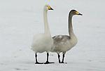 Whooper swan, Cygnus cygnus, adult with young, standing on frozeen lake Kussharo-ko, Hokkaido Island, Japan, japanese, Asian, wilderness, wild, untamed, ornithology, snow, graceful, majestic, aquatic.Japan....