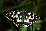 Marbled White butterfly, Melanargia galathea, wings open showing black and white colours patttern, Provence.France....