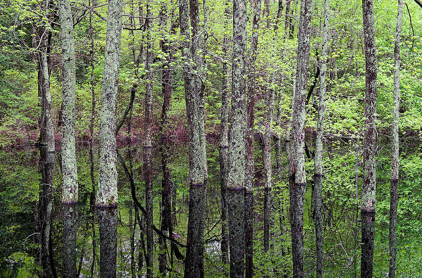 Trees growing from a swampy pool of water.